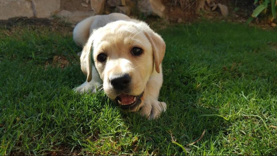 Leona V, service ambassador dog.