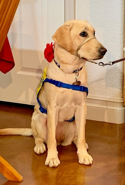 Leona V, service dog in training with Canine Companions for Independence.